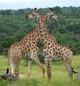 Girafes - Park Kruger