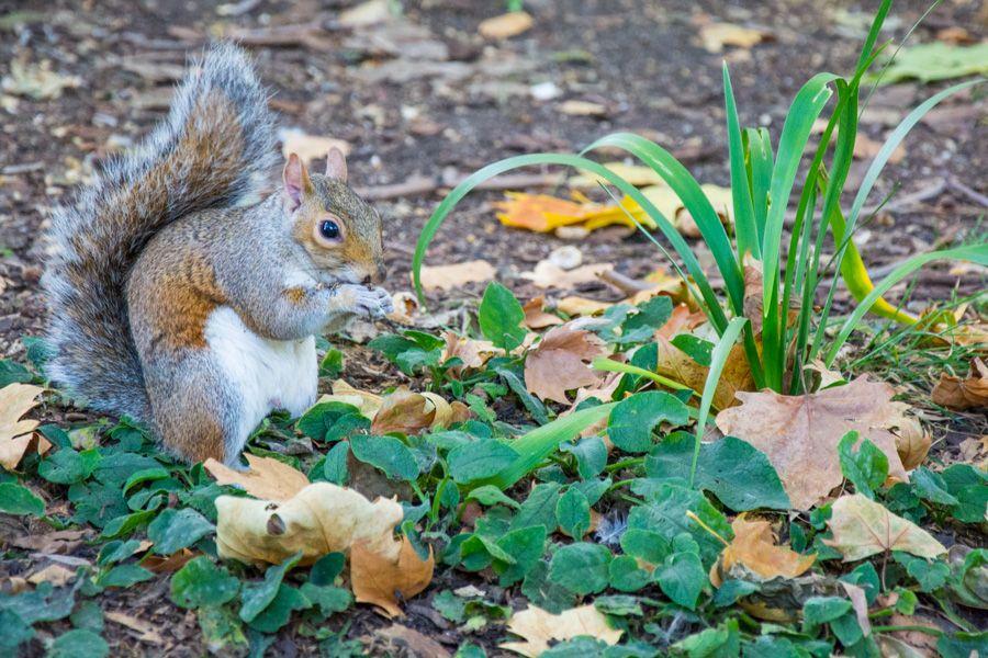 que voir à londres écureuil st james's park - librevoyageur