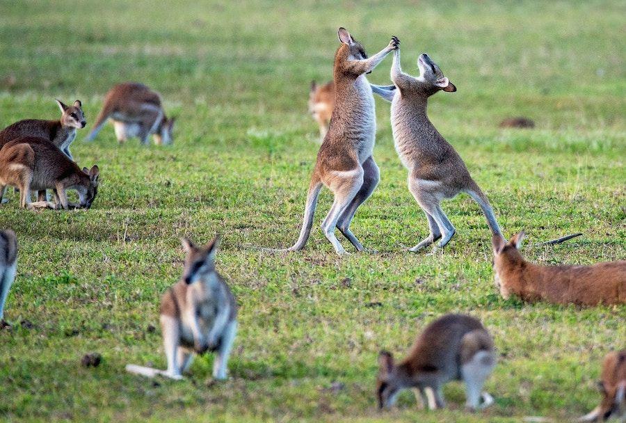 kangourous - australie