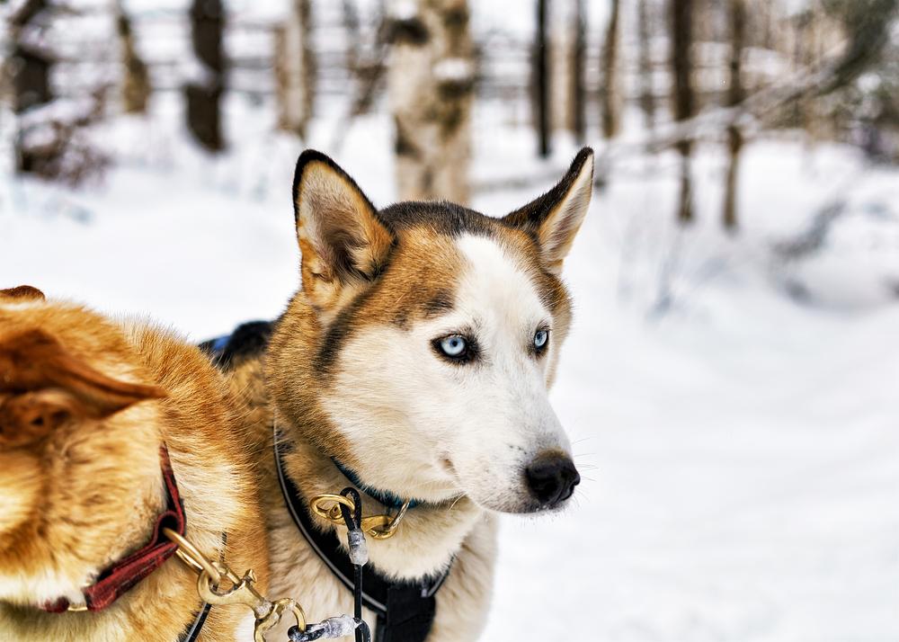rovaniemi chien de traineau