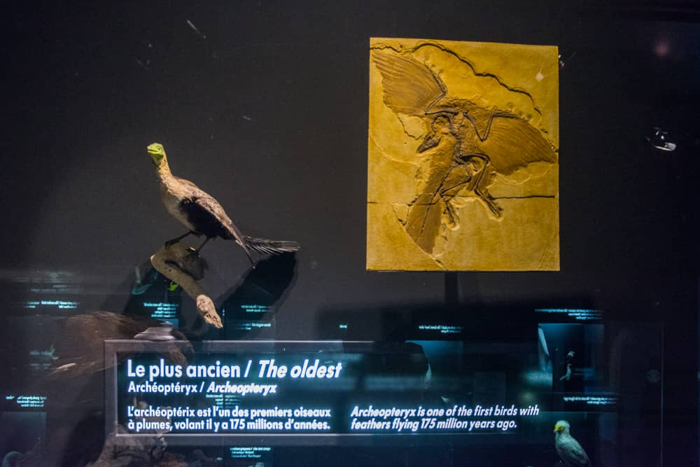 oiseaux champions du monde - acheopteryx
